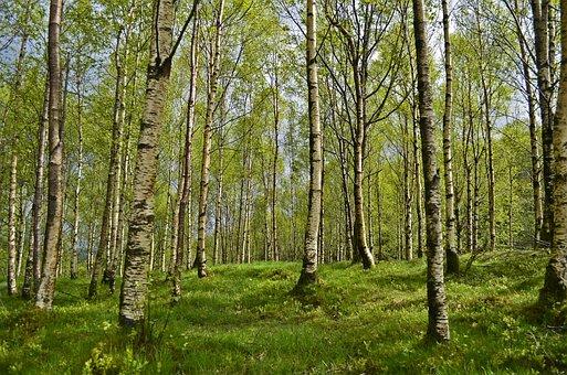Birch, Birch Forest, Forest, Spring, Allergy