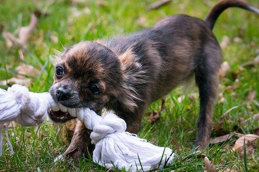 Chihuahua, Bite, Rope, Small Dog, Dog, Puppy, Baby