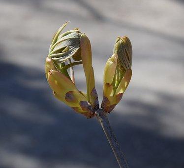 Japanese Chestnut Leaves Opening, Chestnut, Leaves