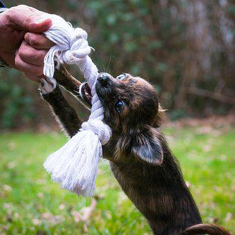 Chihuahua, Bite, Rope, Dog, Puppy, Baby, Toys, Dog Toy
