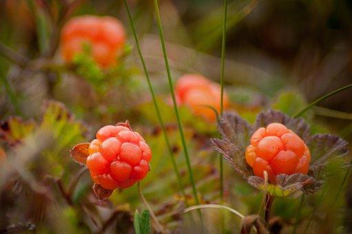 Cloudberry Bush Produces, Berries, Berry, Nature, Jack