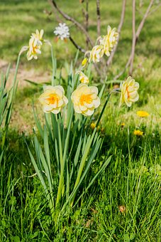 Daffodils, Flowers, Narcissus, Yellow, Spring Flower