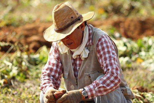 Straw Hat, Farmer, Sweet Potato Farming, Farming
