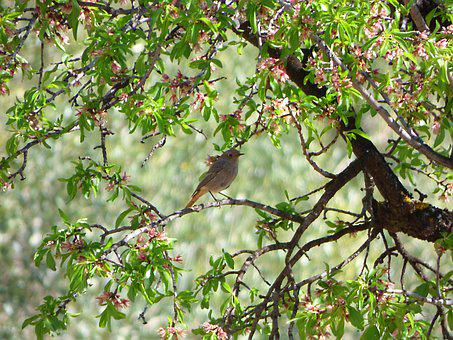 Black Redstart, Almond Tree, Outbreaks, Branches