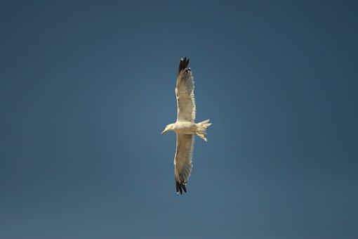 Seagull, Bird, Flight, Seevogel, Birds, Animal