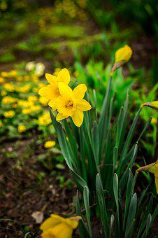 Daffodils, Flowers, Spring, Grass, Flower, Yellow, Bud