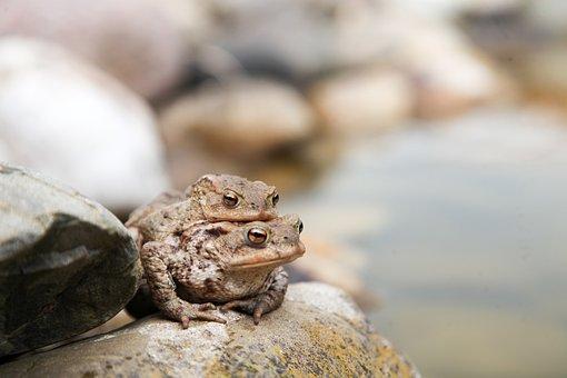 Toads, Frog, Amphibians, Toad Migration, Nature