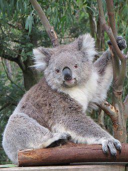 Koala, Australia, Wildlife, Animal, Nature, Marsupial