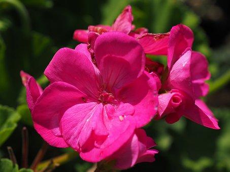 Geranium, Blossom, Bloom, Pink, Balcony Plant