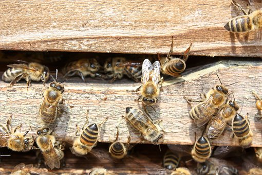 Bees, Honey, Insect, Collect Honey, Nature, Animal