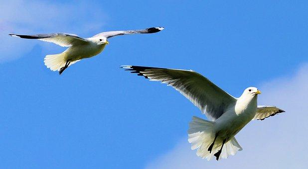 Birds, Seagulls, Nature, Wing, Gull, Wildlife, Flying