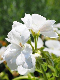 Geranium, Blossom, Bloom, White, Balcony Plant