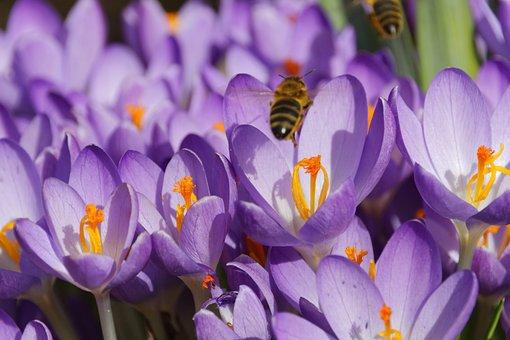 Crocus, Flower, Blossom, Bloom, Spring, Spring Flower