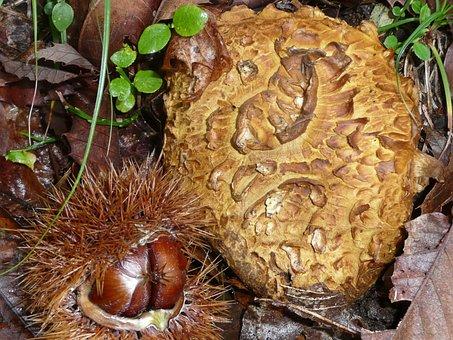 Mushroom, Bovist, Chestnuts, Autumn, Ticino, Nature