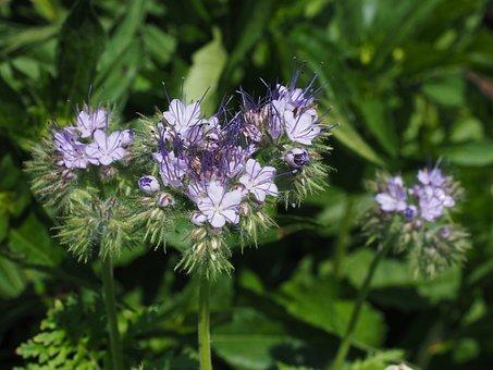 Bueschelschoen, Tufted Flower, Phacelia, Flower
