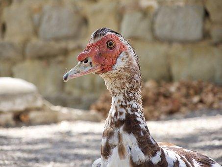 Goose, Bird, Animal, Water Bird, Close, Poultry