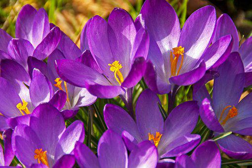 Crocus, Flower, Blossom, Bloom, Spring, Easter