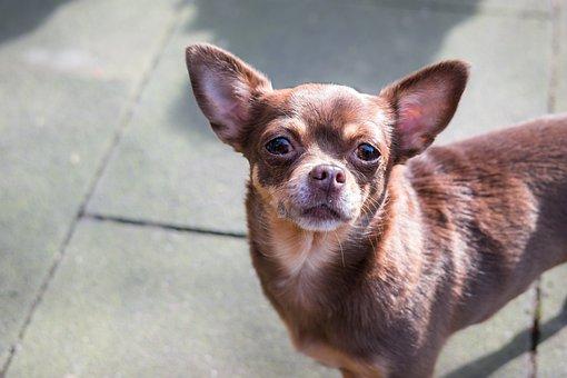 Chihuahua, Dog, Chiwawa, View, Look, Watch, Eyes, Small