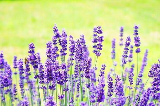 Lavender, Flowers, Flower, Purple, Violet, Plant