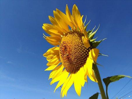 Sunflower, Flower, Sun, Sky, Sun Flower, Flowers