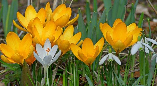 Crocus, Snowdrop, Spring, Signs Of Spring, Flowers