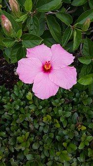 Flower, Hibiscus, Nature