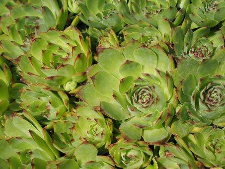 Houseleek, Sempervivum, Stone Garden, Plant, Meaty