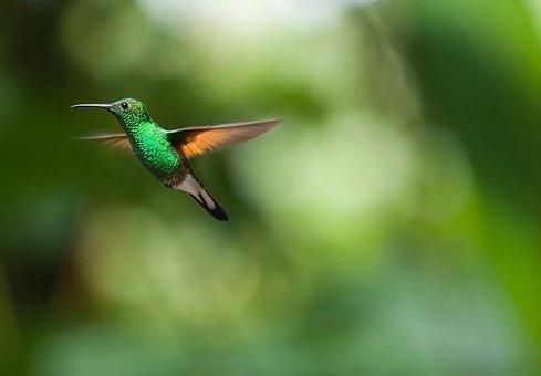 Hummingbird, Bird, Birds