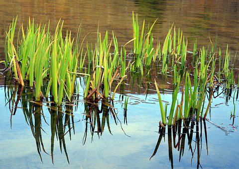 Marsh Iris, Aquatic Plant, Water Flower, Bank, Pond