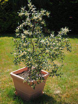 Olive Tree, Flowers, White, Oblong, Olive Blossoms