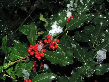 Red Berries, Branch, Snow, Celebration, Leaf, Nature