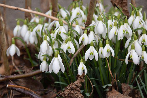 Snowdrop, Spring, Signs Of Spring, Nature, March