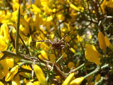 Spider, Arachnid, Genista Scorpius, Aliaga, Thorns