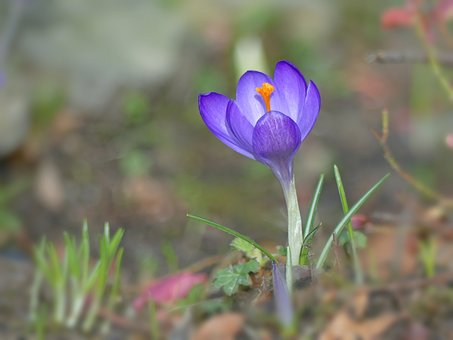 Crocus, Flowers, Spring, Spring Flower