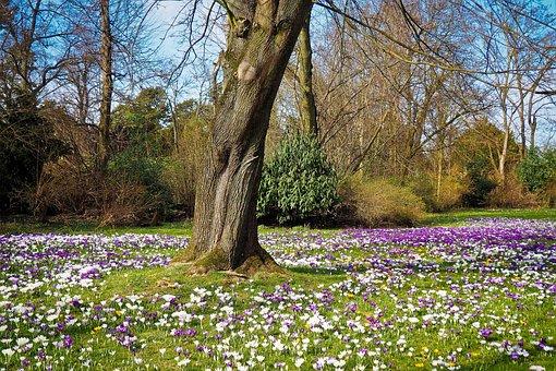 Landscape, Crocus, Spring, Nature, Flower, Plant, Tree