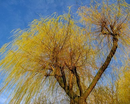 Tree, Branches, Willow Tree, Pasture, Nature, Tribe