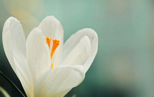 Crocus, Flower, Spring, Spring Flower, White
