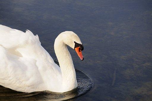 Swan, Animal, Bird, Water, Blue, Wildlife, Wild, Nature