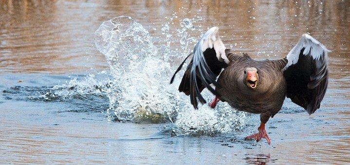 Greylag Goose, Goose, Wa, Water Bird