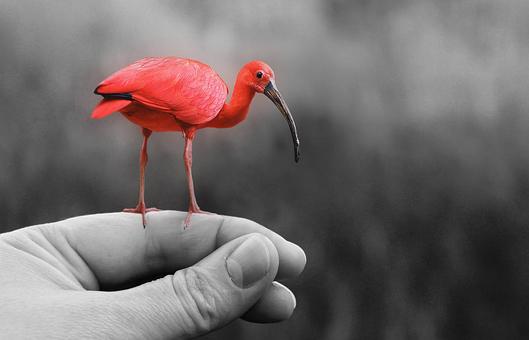 Animal, Bird, Pink, Nature, Wing, Young Bird, Bill, Red