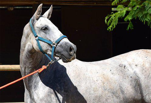 Andalusian, Andalusian Horse, Horse, Animal, Equine