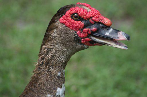 Duck, Ugly Duck, Bird, Animal, Beak, Ugly, Nature