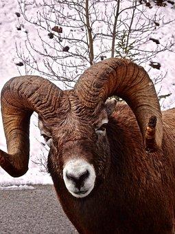 Big Horn Sheep, Ram, Wildlife, Mountain, Horned, Head