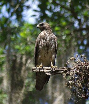 Falcon, Bird Of Prey, Bird, Predator, Hawk, Falconry