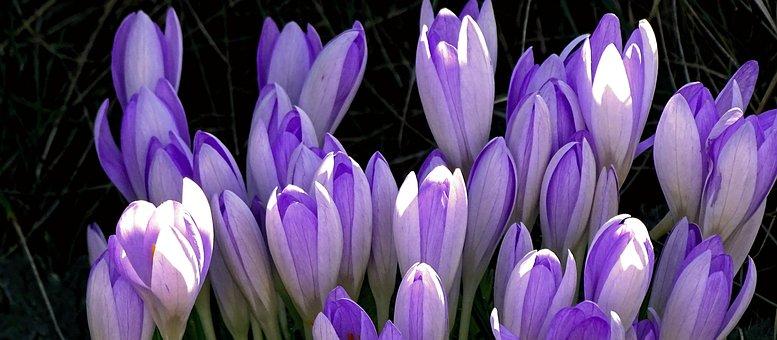 Crocus, Crocus Flowers, Spring, Purple, Flowers