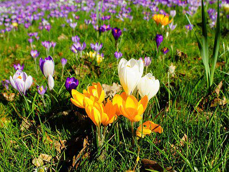 Crocus, Garden, Spring, Flowers, Nature, Early Bloomer