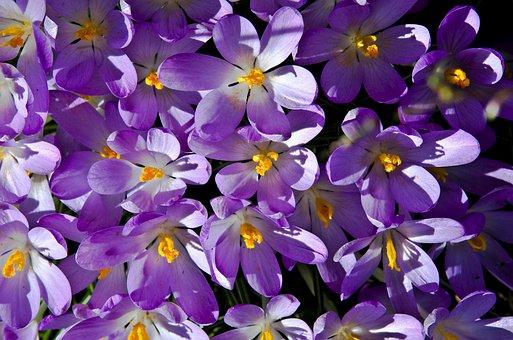 Crocus, Purple, Spring, Blossom, Bloom, Spring Flower