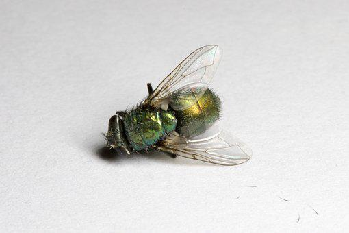 Fly, Dead, Green, Bug, Insect, Grim, Wings, Macro