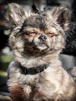 Chihuahua, Dog, Puppy, Baby, Face, Dreams, Sunbathing