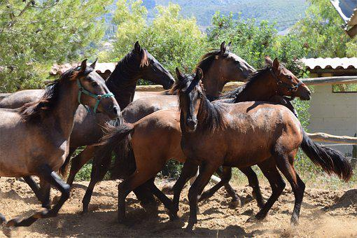 Stallions, Running, Wild, Run, Equine, Animal, Horse